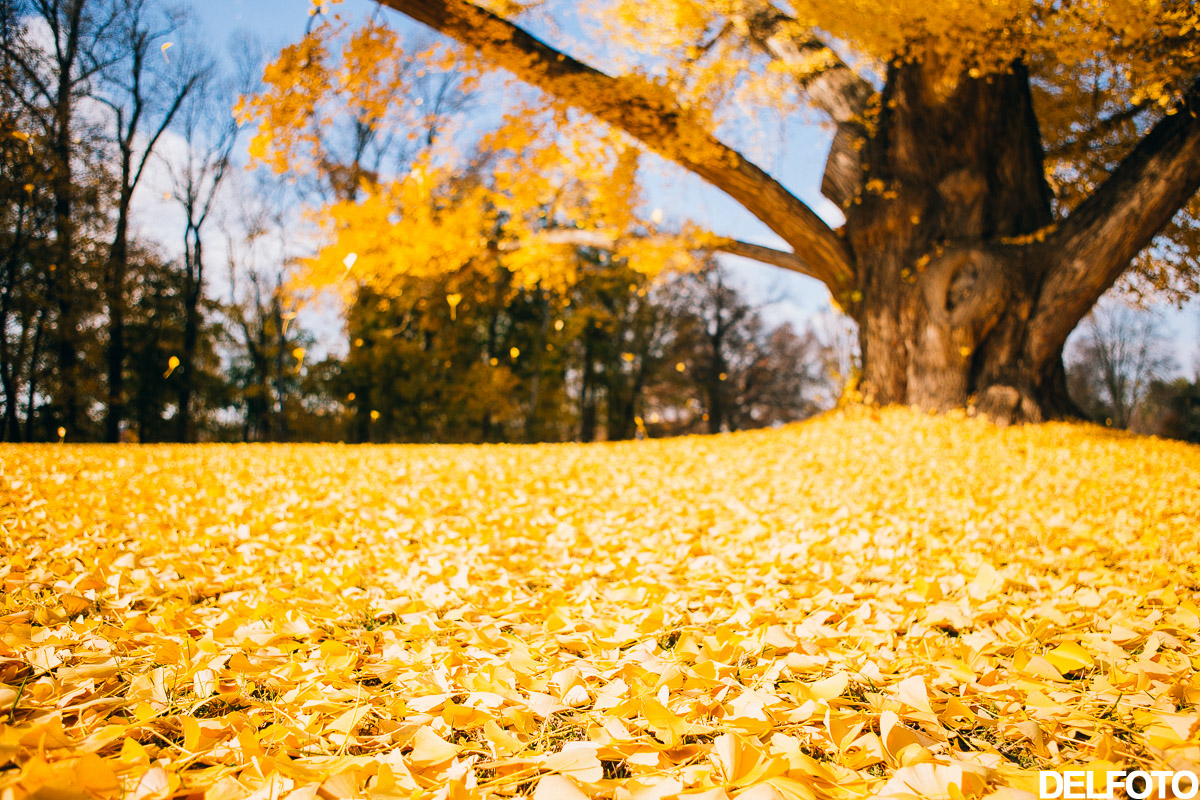New York Hyde Park Vanderbilt Mansion Travel Photography Autumn Fall Yellow Gingko tree Leaves